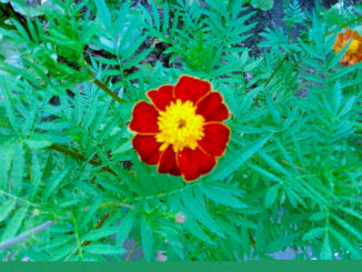 Бархатцы цветы