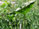 Полезные свойства сорняков